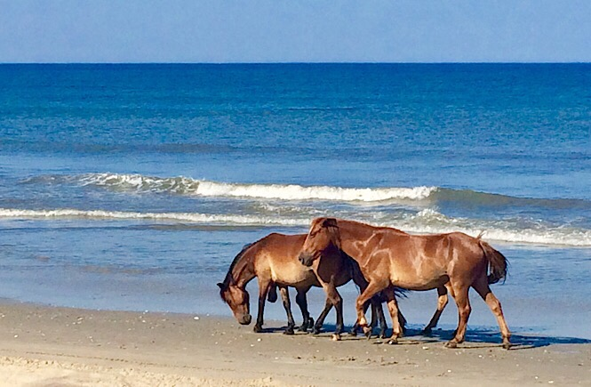 NC's Outer Banks- Wild Spanish Mustangs in Carova