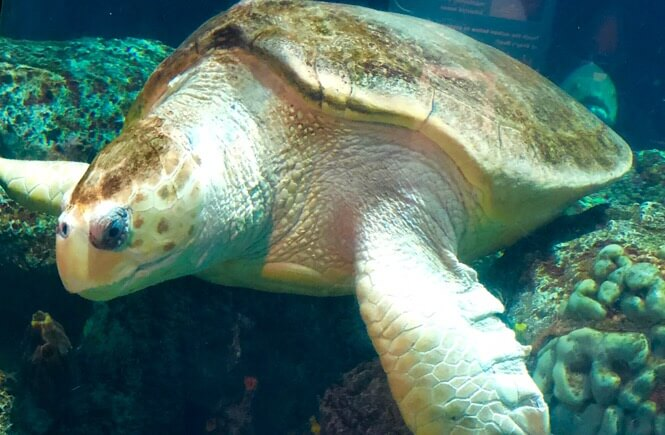Top 10 Best things to do in Charleston SC with kids, tips featured by top US travel blog, More Than Main Street: sea turtles at the SC Aquarium