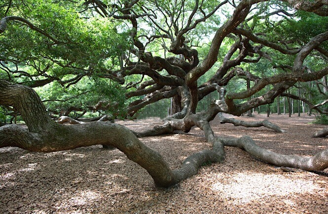 Top 10 Best things to do in Charleston SC with kids, tips featured by top US travel blog, More Than Main Street: Angel Oak Tree in Charleston SC