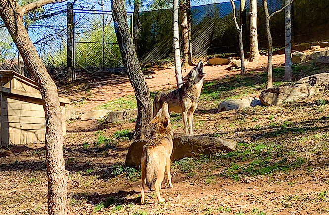 wolves at the Western NC Nature Center