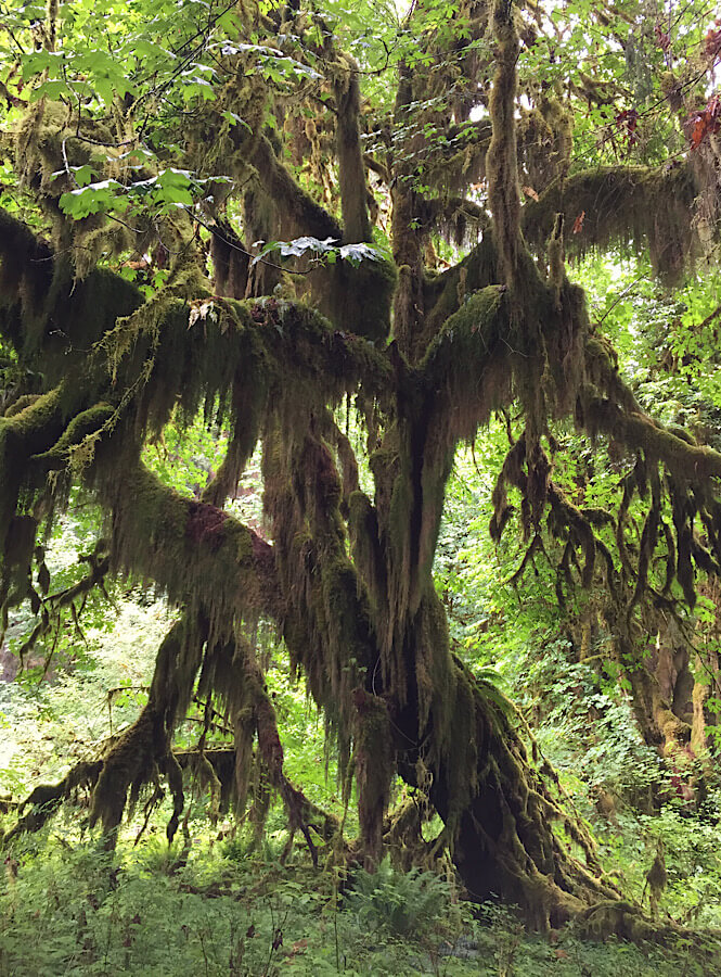 The massive trees in Hoh River Valley on the Olympic Peninsula.