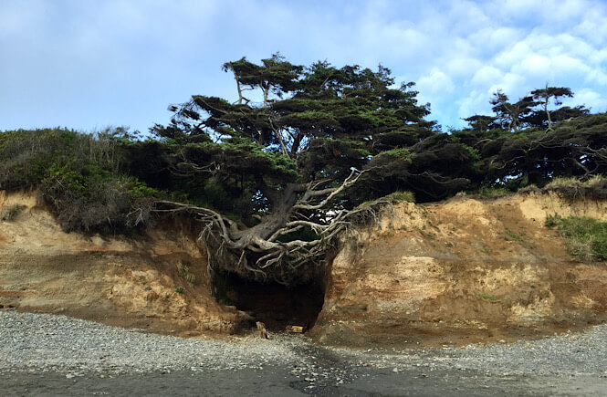 The tree of life on Kalaloch Beach in Olympic National Park in Washington.