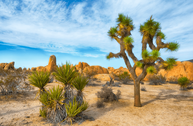 The unique landscape of Joshua Tree National Park is one of the best day trips from San Diego.
